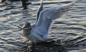 Seagull And It's Dinner by wolfwings1