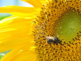 Sunflower and the Bee by tazy01