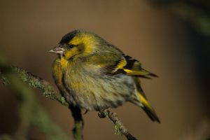 Early Siskin by NicoFroehberg