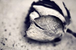 tear of a rose. by C4M30