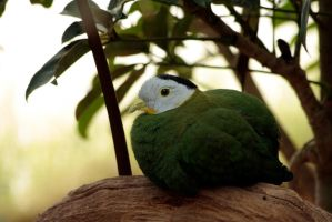 Black-naped Fruit Dove by Tinap