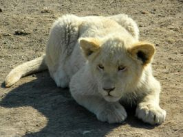 White Lion Cub II by Jenvanw
