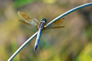 Dragonfly by star-fire