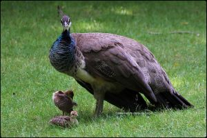 Mamma Peahen and Chicks by SilkenWinds