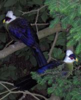 White Crested Turacos by Shara-Moonglow