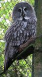 Bird 264 - lovely grey owl by Momotte2stocks