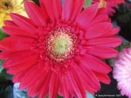Red Daisy by jim88bro
