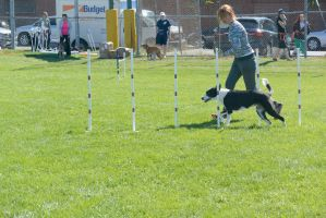 2014 Dog Festival, Agility Contest 32 by Miss-Tbones