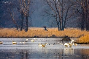 Tundra Swans by VFrance