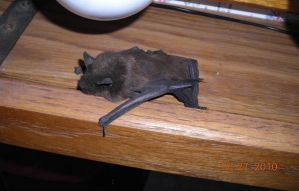 Bat in my House by Flexico