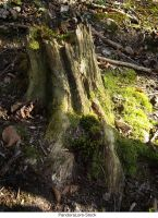 Tree Stump 27 by AnitaJoy-Stock