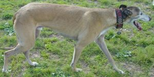 Old Tan Greyhound Purebred Dog by FantasyStock