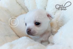 Chihuahua puppy Fili 21.04.2015 by BlackAngelPromotion