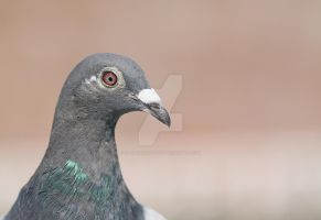 pigeons profile... by clochartist-photo