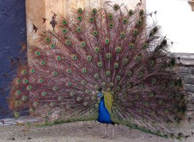 peacock blue - Pfau blau by bgviper