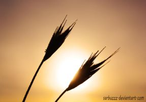 sunrise through the wheat by sarbuzzz