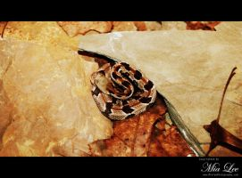 Rattlesnake Curled up by MiaLeePhotography