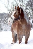 Finnhorse winter by floCha