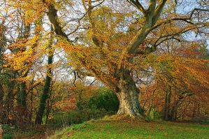 Belvoir Tree Autumn, Close III by Gerard1972