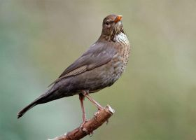 Female Blackbird by Jamie-MacArthur