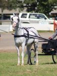 TW white arab tongue out carriage by Chunga-Stock