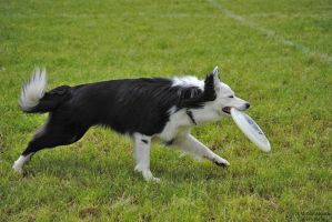 black and white border collie by yadira-szara