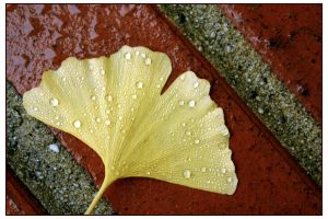 Ginkgo Biloba leaf after rain by humminggirl