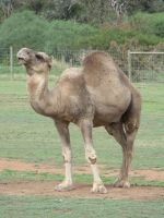 Camel WO2-Stock by SilkenWebs
