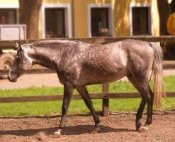 Dapple grey stallion by LadyAyslinn