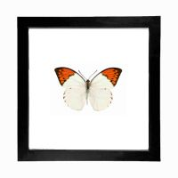 Real Orange Tip Butterfly Display by TheButterflyBabe