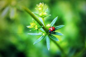 one or two ladybugs by Tiroko