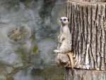 Meerkat Lookout by Tweetspie