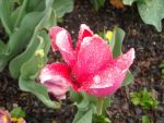 Water Droplet Tulip by spinz17