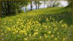 Cowslips by phellmes
