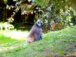 Ring-tailed lemur 2 by Cansounofargentina