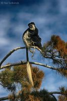 colobus monkey by Yair-Leibovich