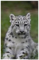 Baby Snow Leopard Portrait by TVD-Photography