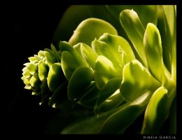 Cactus by trencapins