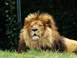 2014 - African lion 15 by Lena-Panthera