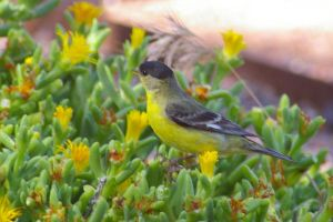 Lesser Goldfinch by PatGoltz
