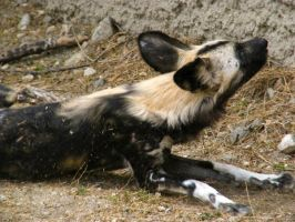 African Wild Dog by gear9242