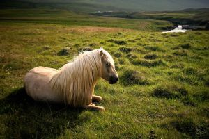 Icelandic Horse by xGuppy