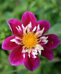 dahlias flora 57 by ingeline-art