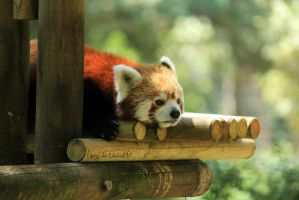 Red Panda II by Linay-stock