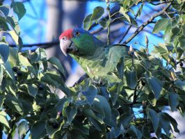Wild Red Head Mexican Parrot by SkullsvilleUSA