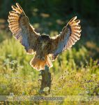 Eagle Owl by GMCPhotographics