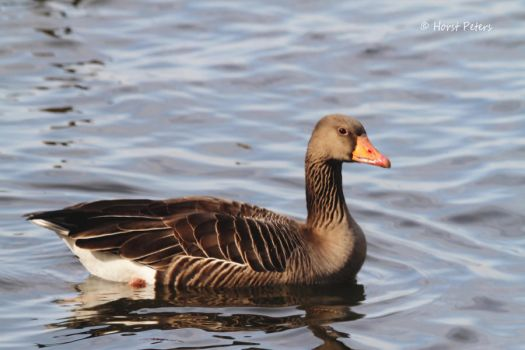 Graugans Anser anser Wildgans   /  Gray Goose by bluesgrass