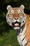 Smile of a Tiger by darkSoul4Life