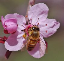 plum flower and bee by lakecarole