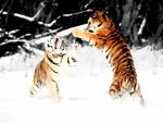 Tigers Fighting in White by The-man-who-writes